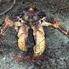 All About the Coconut Crab
