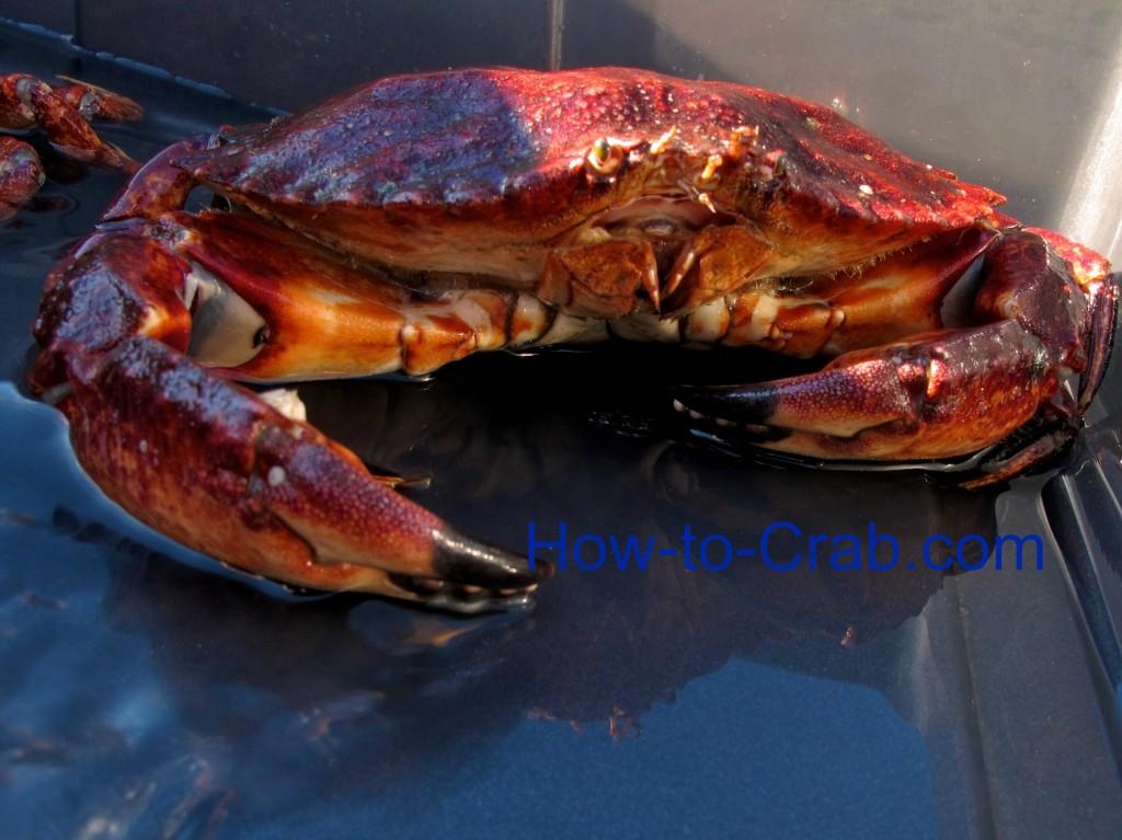 Live Rock Crab
