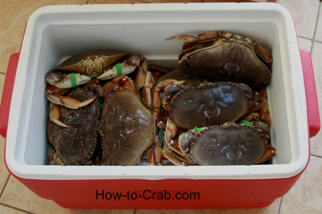 Dungeness crabs in a cooler