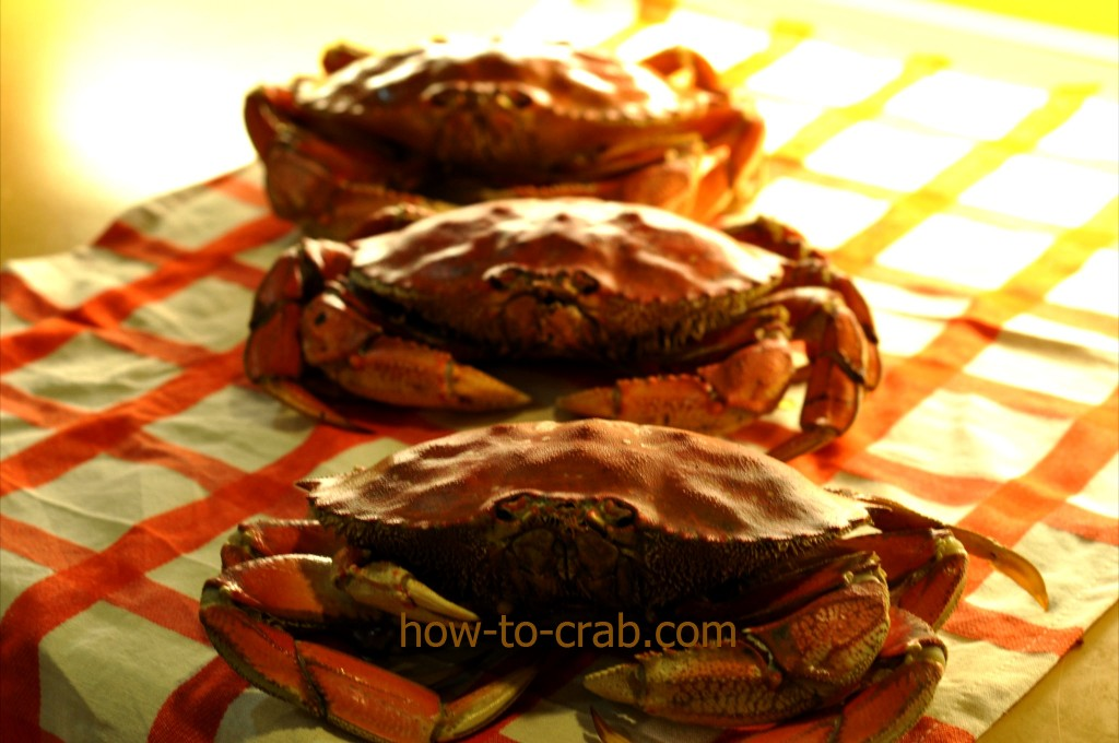 Freshly cooked crab