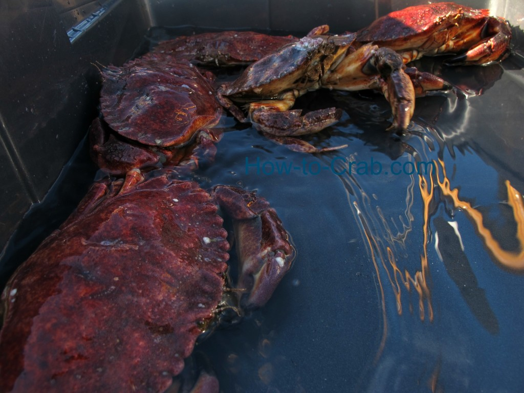 Red Rock crabs in ocean water.